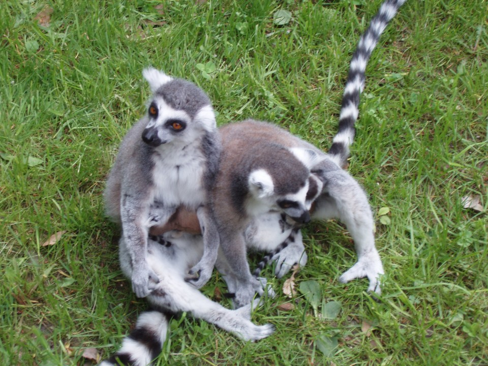 lemuri-zoo-lesna-big-2