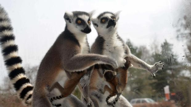 362193_lemurata-ze-zoo-dvur-kralove_image_620x349-2