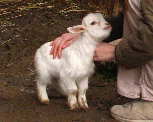 young-pygmy-goat-03-zoo-dvur-kralove-2